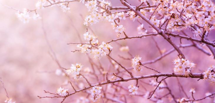 hanakasumi: la sensorialità e gli aromi dei fiori di ciliegio